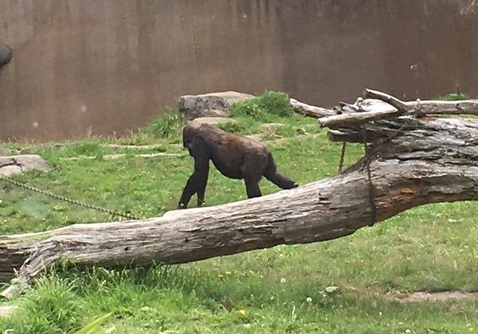 GGVCP Zoo Trip - Gorilla