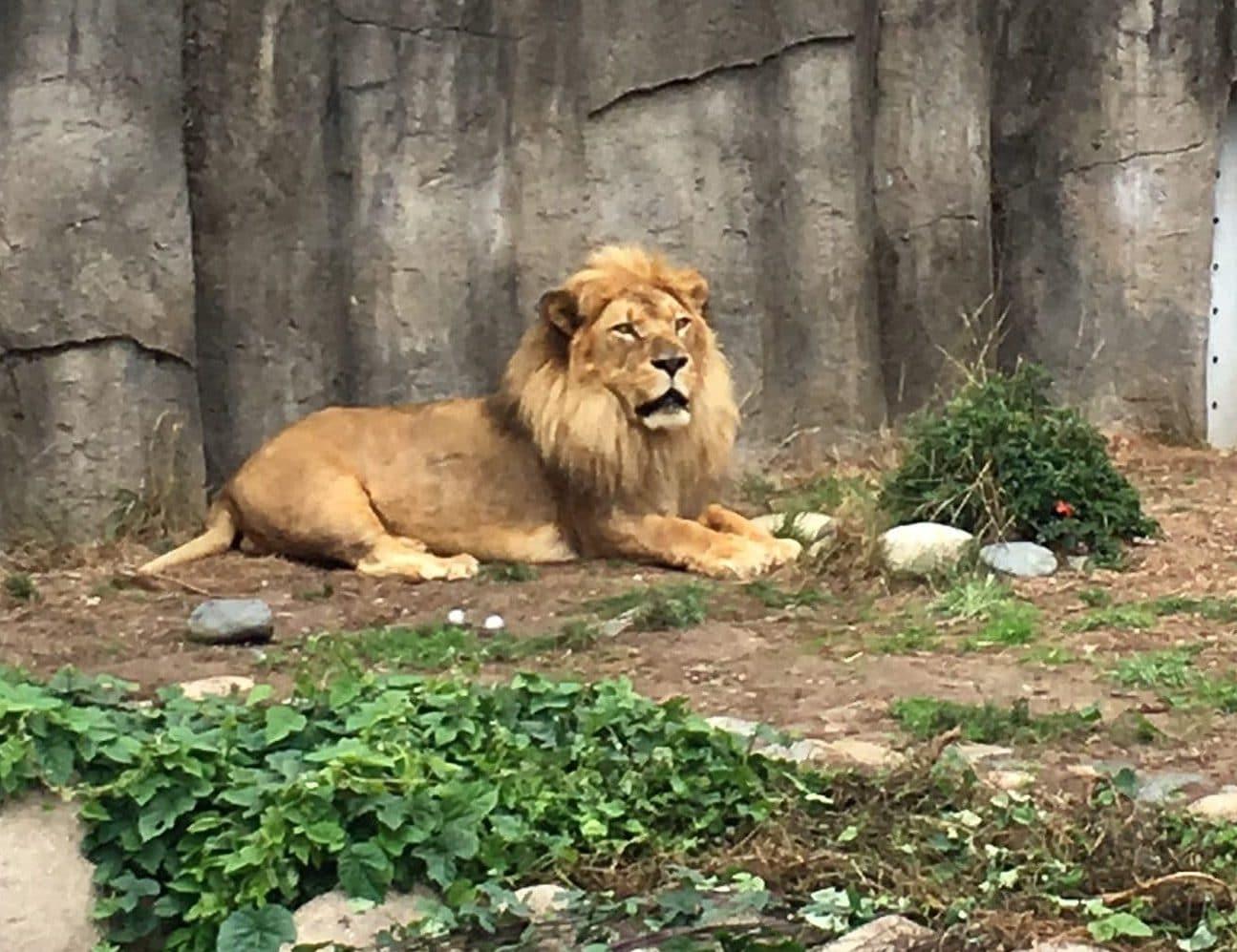 GGVCP Zoo Trip - Lion