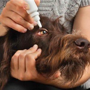 Eye Meds in Dogs