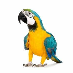 Blue & Gold Parrot