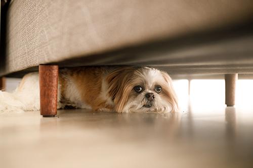 Shih Tzu under couch.