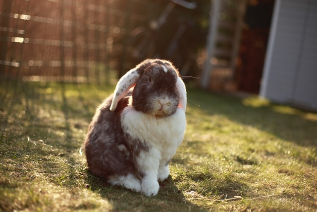 Separation Anxiety in Rabbits